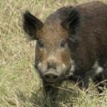 feral-hog-usual-suspect-hr